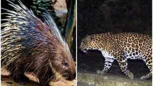 porcupine challenged leopard, leopard attack porcupine, சிறுத்தைக்கு சவால் விட்ட முள்ளம்பன்றி, வைரல் வீடியோ, வைரல் செய்திகள், leopard, porcupine, wild life video, வனவிலங்கு வீடியோக்கள், porcupine challenged leopard viral video, viral video, tamil viral news, tamil viral video news, latest tamil viral news