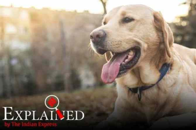 dogs, dogs and covid, dogs detecting coronavirus, Bio-detection dogs, labradors and cocker spaniels dogs, கொரோனா வைரஸை நாய்கள் கண்டறியுமா, நாய்கள், மருதுவ கண்டறிதல் நாய்கள், மருத்துவ கண்டுபிடிப்பு நாய்கள், coronavirus detection by dogs, medical dogs, dogs can detect COVID-19, இங்கிலாந்தில் கொரோனாவை கண்டுபிடிக்க மருத்துவ நாய்கள் ஆய்வு, medical detect dogs, tamil indian express