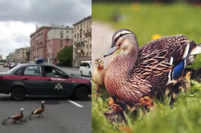 Russian National Guard closed Leninsky street in Moscow to help a duck family