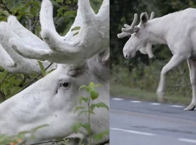 White Moose rate appearance in Sweden viral video of white moose
