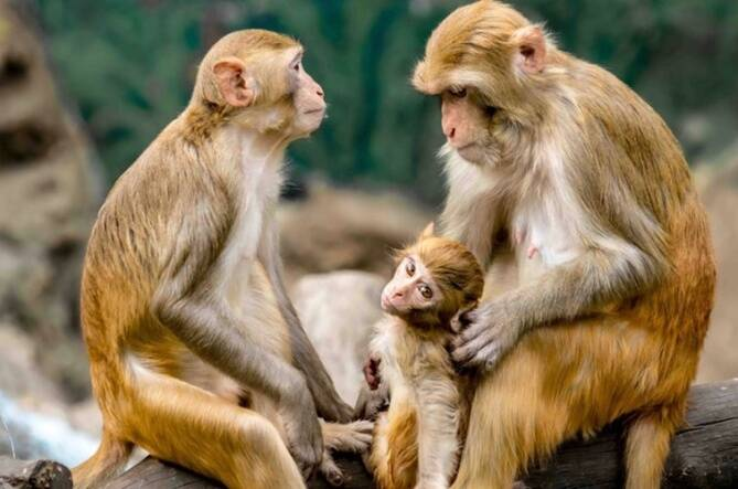 Monkeys snatched corona test samples, locals fear corona infection