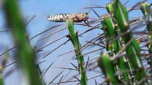 rajasthan, punjab, locust attack, agriculture,