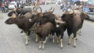 Group of bisons entered in Kodaikanal main city areas