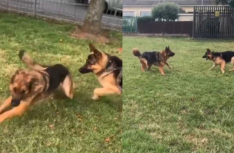 Viral video ofGerman Shepherd besties Bear and Mable meet after 4 months apart