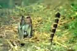 monkey king cobra fights video, monkey snake fights, viral video, குரங்கு பாம்பு சண்டை, குரங்கு ராஜநாகம் சண்டை, வைரல் வீடியோ, monkey snake fighting viral video, wild animal video, Tamil viral video, tamil video news,Tamil trending video, Tamil video