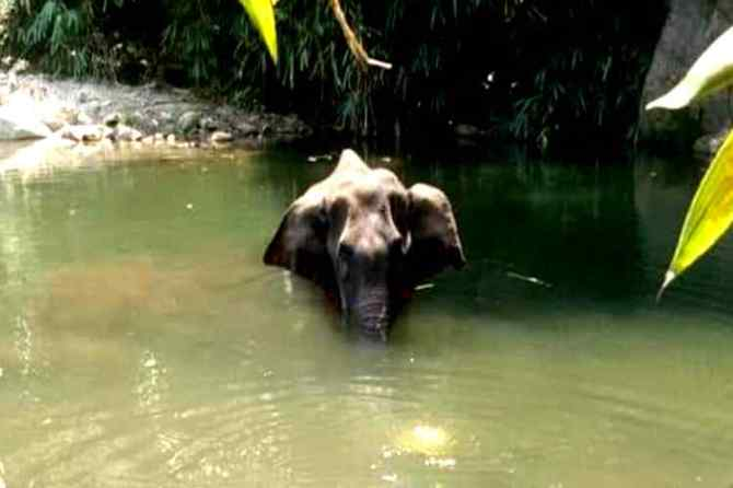 kerala Pregnant elephant death : Hunger elephant fainted and drowned in water says postmortem report