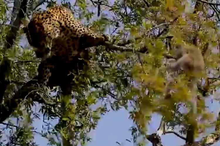 leopard try to attack monkey on tree, cheetah climbing on tree, leopard climbing on tree, சிறுத்தை மரத்தில் ஏறி குரங்கை பிடிக்க முயற்சி, சிறுத்தை குரங்கு வீடியோ, வைரல் வீடியோ, leopard try to catch monkey, viral video, tamil viral video news, tamil video news, latest tamil video news, leopard and monkey, trending video news,