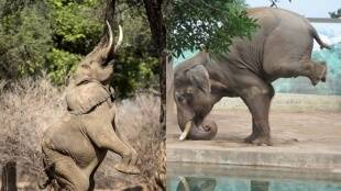 Baba Ramdev shared a photo of a baby Elephant doing Yoga