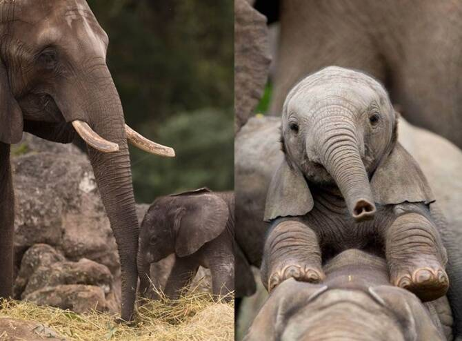 Baby elephant plays with its trunk video goes viral on social media