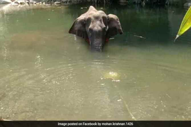 elephant, kerala, crackers, crackers laden fruit, malappuram, injured, pregnant elephant, forest officer, mohan krishnan, news in tamil, tamil news, news tamil, todays news in tamil, today tamil news, today news in tamil, today news tamil