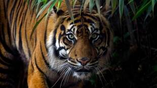International Tiger Day 2020 : Tigers and tiger habitats at the western ghats