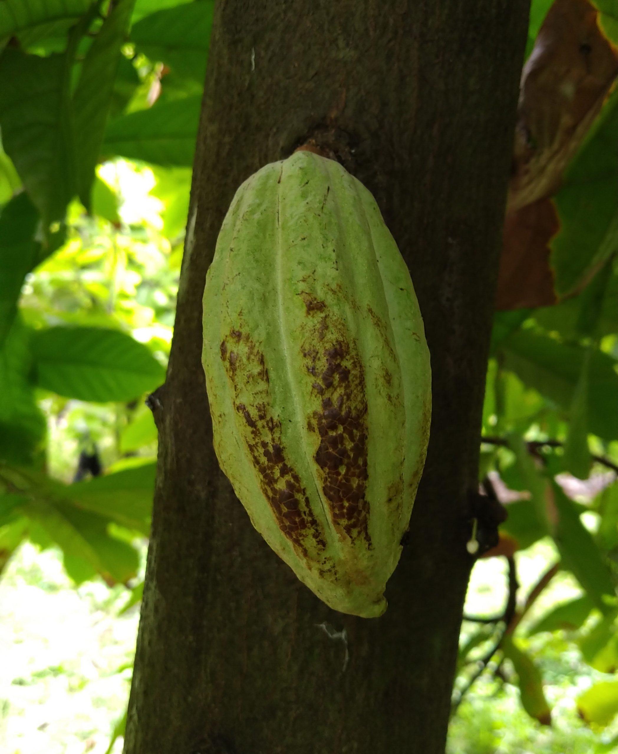Pollachi news : photo gallery of cocoa farms in Coimbatore