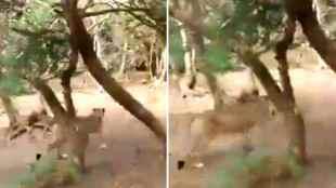 When lion looses its pride, viral vieo, gir forest, buffalo chasing lion viral video, சிங்கத்தை விரட்டிய காட்டெருமை, சிங்கம், எருமை, வைரல் வீடியோ, tamil viral news, tamil viral video news, latest tamil viral news, lion looses pride