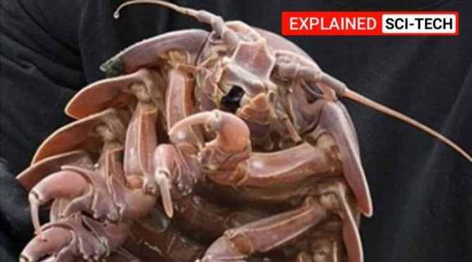 cockroach, rakasa cockroach, cockroaches india, Raksasa cockroach discovered from the ocean deep, கடல் ஆழத்தில் ராட்சச கரப்பான் பூச்சி கண்டுபிடிப்பு, கடல் கரப்பான்பூச்சி, ராட்சச கரப்பான்பூச்சி, indian ocean, indian ocean cockroaches, tamil indian express news