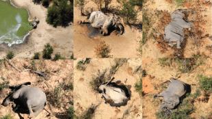 Botswana reports mysterious deaths of hundreds of elephants in its okavango delta