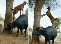 Trending viral video of clever goat climbs a buffalo to munch leaves