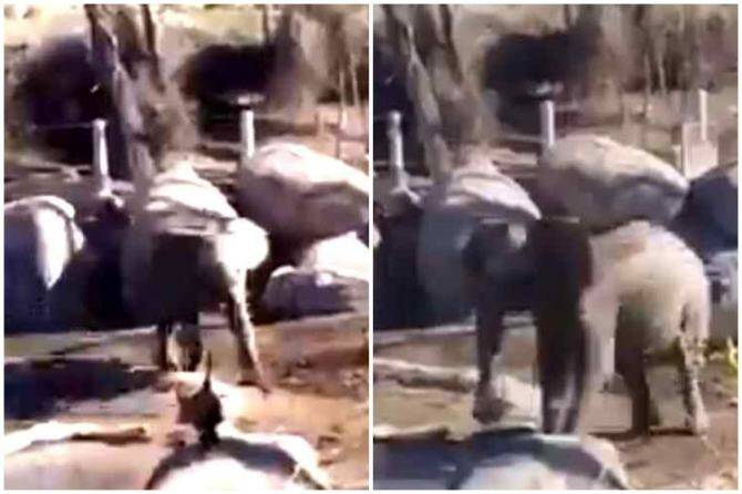elephant and duck fighting, viral vieo, duck, elephant, viral video, வாத்து யானை சண்டை, வைரல் வீடியோ, tamil viral news, tamil viral video news, latest tamil viral news, When the duck had an elephantine guts
