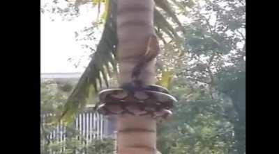 மரம் ஏறும் மலைப் பாம்பு: தத்ரூப வீடியோ