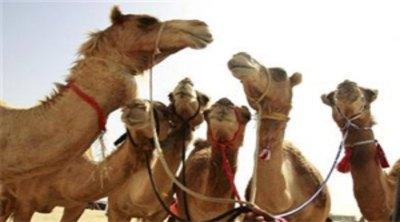 Bakrid camel