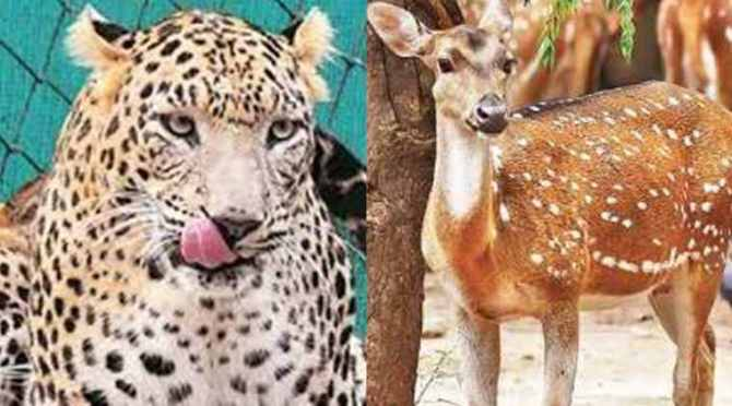 deer meets leopard, leopard meets deer, cheetah meets deer, சிறுத்தை, மான், சிறுத்தையை நேராக சந்தித்த மான், வைரல் வீடியோ, deer meets cheetah, viral video, tamil viral video news, tamil viral news, latest tamil news, latest trending video