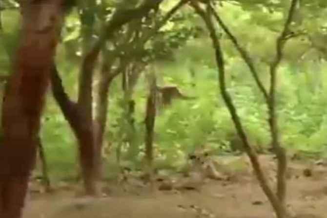 Gibbon monkey, tiger cubs, assam, viral video, IFS Susanta Nanda, twitter, video, viral netizens, news in tamil, tamil news, news tamil, todays news in tamil, today tamil news, today news in tamil, today news tamil