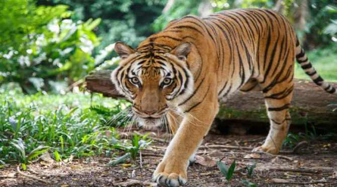 tiger day, International tiger day, chennai, vandalur, zoological park, paint competition, quiz, educational programmes, white tiger, bengal tiger, news in tamil, tamil news, news tamil, todays news in tamil, today tamil news, today news in tamil, today news tamil