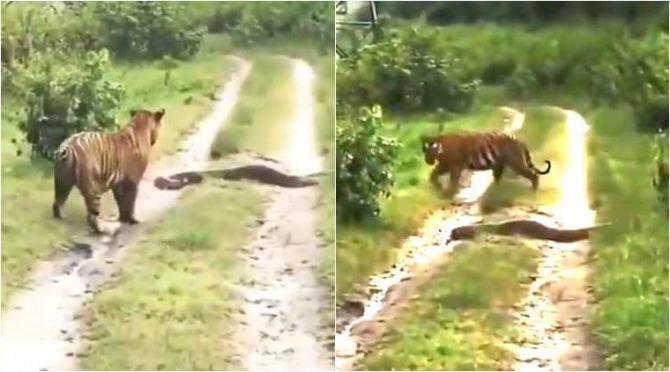 tiger vs python, viral video, tiger vs python viral video, tamil video news, tamil viral video news, புலி vs மலைப்பாம்பு, வைரல் வீடியோ, புலி, மலைப்பாம்பு, Tiger leaves the way to Python, tiger leaves way to python, tamil viral news