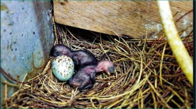 A village goes dark for 35 days to save the hatchlings of an Indian Robbin