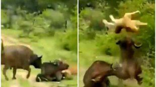wild buffalo attacks lion viral video, indian gour attacks lion, buffalo attacks lion, சிங்கத்தை தாக்கிய எருமை, எருமை சிங்கம், வைரல் வீடியோ, காட்டு எருமை, சிங்கம், bison attacks lion, wild life video, viral video, tamil viral video news, viral video news, latest tamil viral news