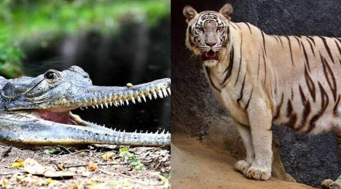 HCL to extend its support to Vandalur Zoo, Crocodile Bank