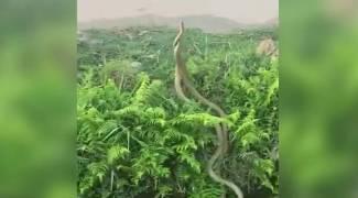 ஆக்ரோஷமாக மோதிய பாம்புகள் - மனிதனை மிஞ்சும் 'நான் தான் டாப்' மனநிலை (வீடியோ)