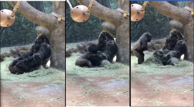 Trending viral video of gorilla's refusal to play with young one
