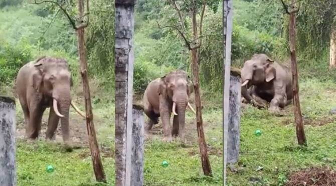 viral video of single tusker entered Parali EB quarters and playing on dirt