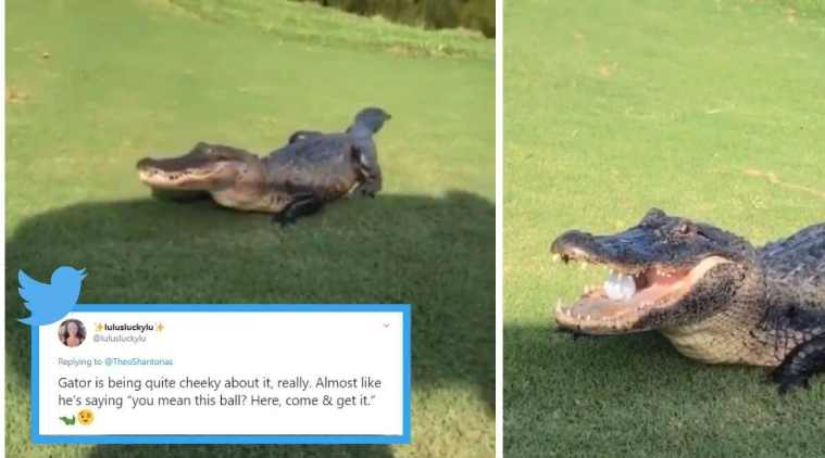 USA, Golf course, alligator videos, alligator golf ball video, giant alligator catches golf ball viral video, louisiana,trending news, indian express news