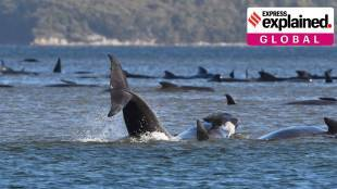 Why have hundreds of whales died in Australia