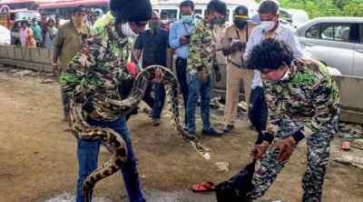 Snakes, Snake rescue, Python, Python rescue video, Mumbai, மும்பை, மலைப்பாம்பு மீட்பு, காருக்குள் புகுந்த மலைப்பாம்பு, வைரல் வீடியோ, வீடியோ, Python inside car, Viral video, Trending news, Tamil Indian Express, mumbai highways, python rescue video goes viral