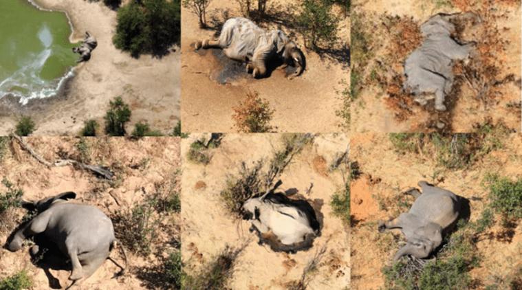 Botswana Mystery elephant deaths caused by cyanobacteria