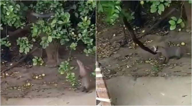 Mongoose, snake, mongoose snake fight, snake mongoose fight, mongoose snake fight viral video, கீரி பாம்பு சண்டை, கீரி பாம்பு சண்டை வீடியோ, வைரல் வீடியோ, viral video, wildlife, tamil news, tamil viral video news, tamil viral news, viral