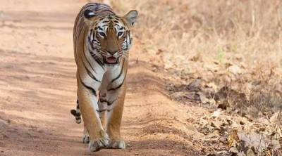 Anamalai Tiger Reserve conducts tiger monitoring phase iv from tomorrow onward