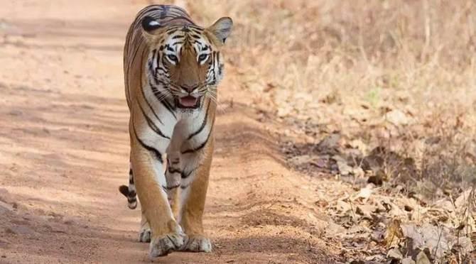 Anamalai Tiger Reserve conducts tiger monitoring phase iv from tomorrow onward