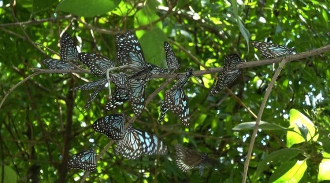 South India butterfly migration : check the facts you never knew