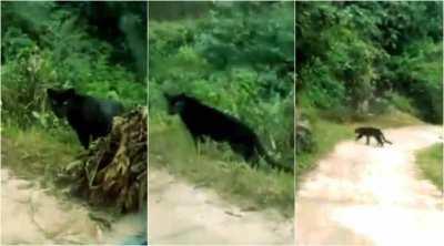 black panther, black panther video, panthera pardus, black panther of india, கருஞ்சிறுத்தை, வைரல் வீடியோ, ட்ரெண்டிங் வீடியோ, tamil viral news, கருஞ்சிறுத்தை வீடியோ, black panther crossed road, viral video, wild life video, trending video, wild life trending video