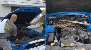 Florida wildlife officials rescue 10-foot-long python from Mustang engine