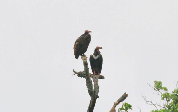 Decline and conservation of Asian King Vulture in Sigur Plateau of Nilgiris