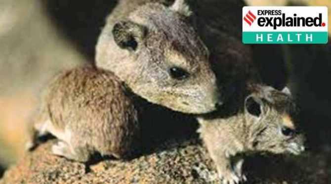 Chapare virus, Chapare like Ebola virus, சாபரே வைரஸ், எபோலா வைரஸ், எபோலா வைரஸ் போல சாபரே வைரஸ், Centers for Disease Control, rodents, Chapare virus news, Tamil indian express