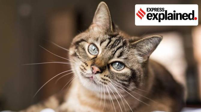 Pet cats vulnerable to corona virus tamil news