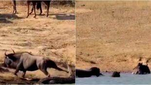 Hippopotamus rescued wild buffalo, hippopotamus rescued wild beast, காட்டெருமையைக் காப்பாற்றிய நீர் யானைகள், வைரல் வீடியோ, முதலையிடம் இருந்து காட்டெருமையை காப்பாற்றிய நீர் யானை, hippopotamus rescue wild beast from crocodile,tamil news, tamil viral news, viral video, trending videos