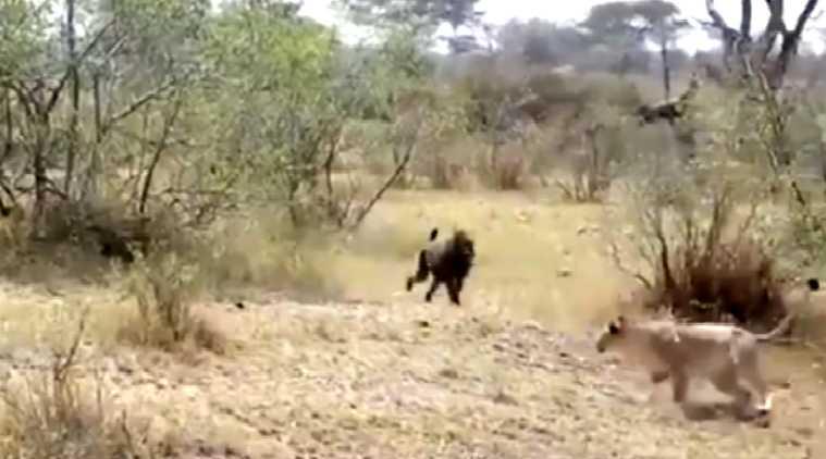 monkeys attacks on leopard, monkeys attacks on lion, சிறுத்தையை தாக்கிய குரங்குகள், சிங்கத்தை விரட்டிய குரங்கு, வைரல் வீடியோ, viral video, strange wild life video, trending video, tamil viral news, tamil trending news