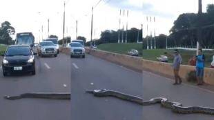 python, python crossed road, python crossed road traffic jam, மலைப்பாம்பு, சாலையக் கடந்த மலைப்பாம்பு, python cross road video, வைரல் வீடியோ, python viral video