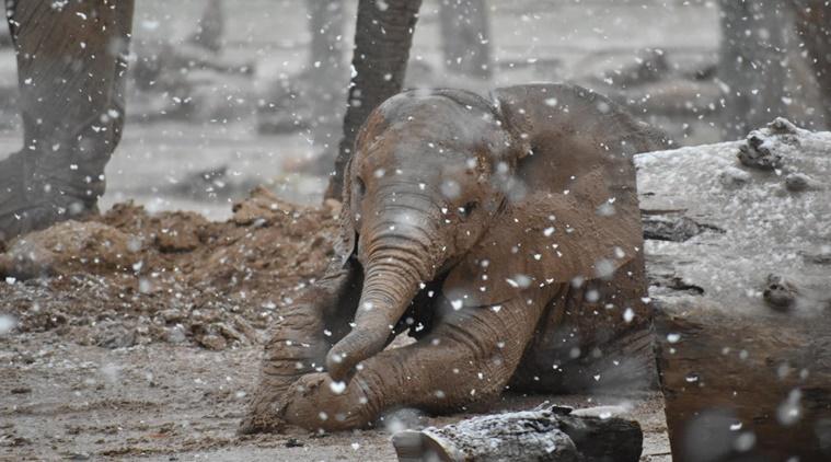 Baby elephant Penzi slips and slides in mud amid snowfall video goes viral on social media